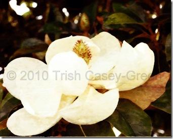 2010-MAY Magnolia-1paintc